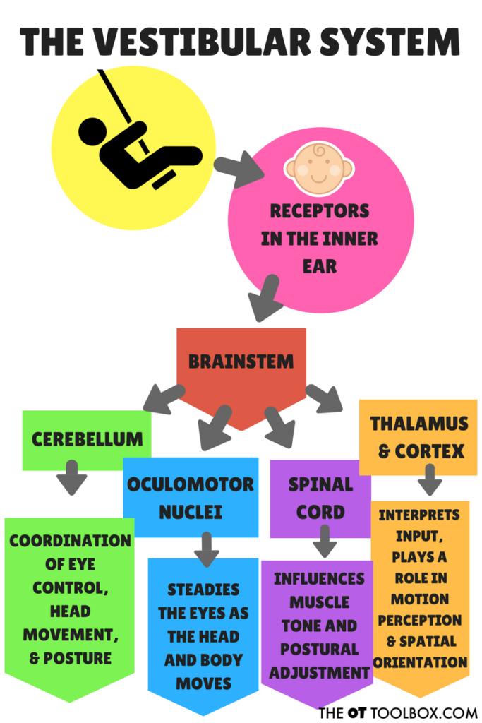 How does the vestibular system work?